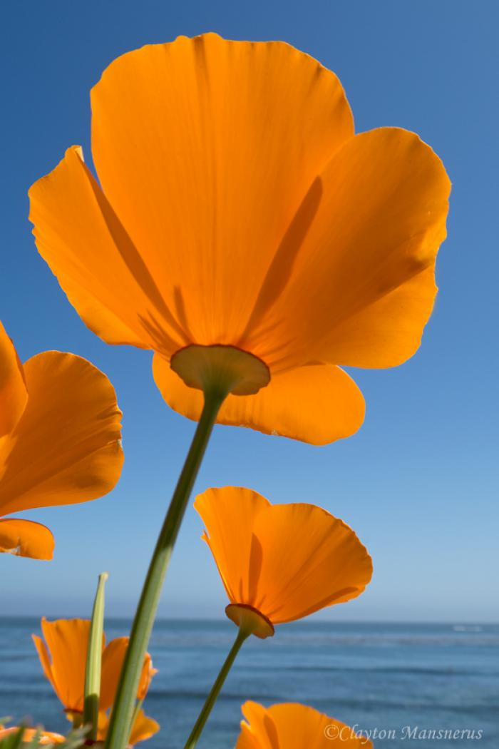 IMG_2414 California Poppies at Pleasure Point