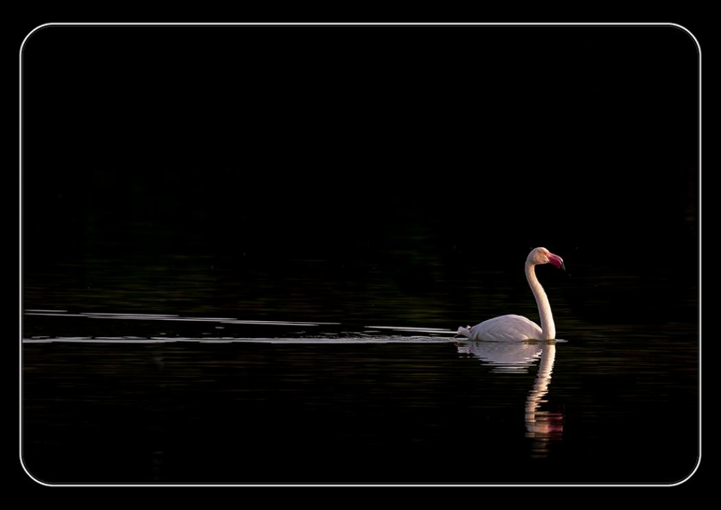 Flamingo at dawn - (Phoenicopterus ruber)