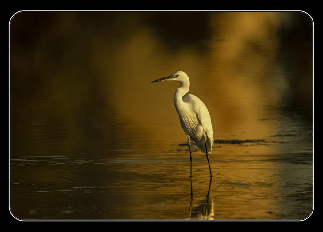 Little egret emerging from the morning mists - (Egretta garzetta)